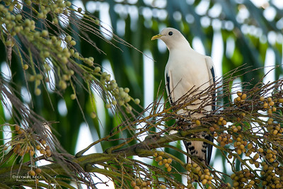 Pied Imperial Pigeon, Cairns, QLD, Dec 2009