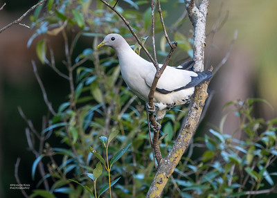 Pied Imperial Pigeon, Cairns, QLD, Jan 2020-1