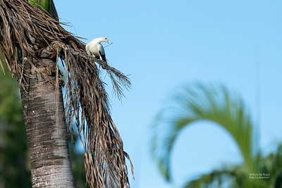 Pied Imperial Pigeon, Cairns, QLD, Jan 2020-2