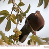 Red-billed Pigeon A82044