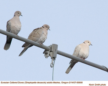 EuasianCollaredDoves69908