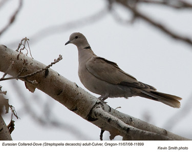 EuasianCollaredDoves11899