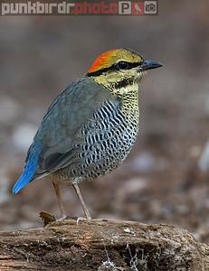 Blue Pitta female (Hydrornis cyaneus)