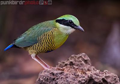 Bar-bellied Pitta (Hydrornis elliotii)