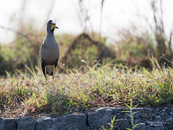 African Wattled Lapwing, Chobe River, NAM, Oct 2016-1