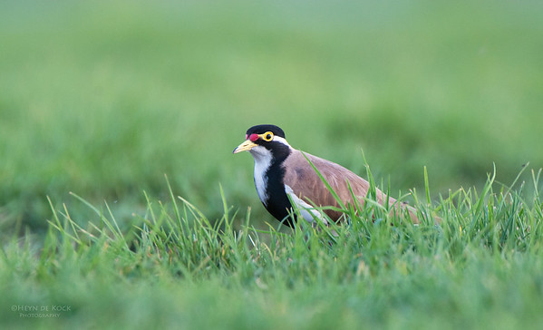 Banded Lapwing, Richmond, NSW, Aus, Sep 2012