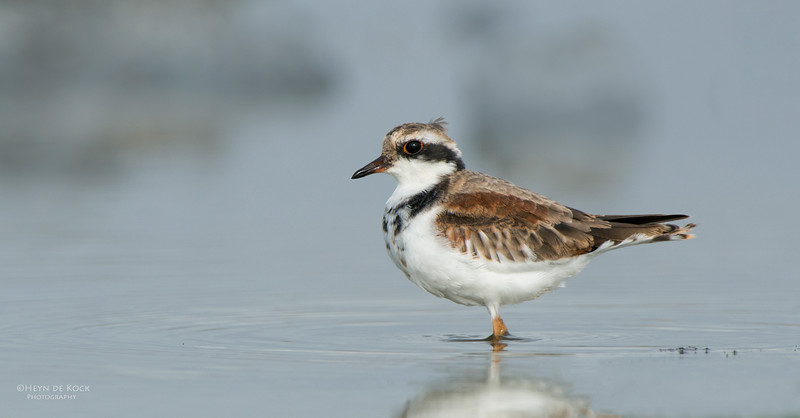 Black-fronted Dotteral, imm, Western Treatment Plant, VIC, Apr 2014-1