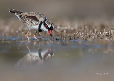 Black-fronted Dotteral, Bowra, Cunnamulla, QLD, Aus, Sept 2017-1