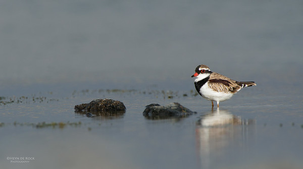 Black-fronted Dotteral, Western Treatment Plant, VIC, Apr 2014-1