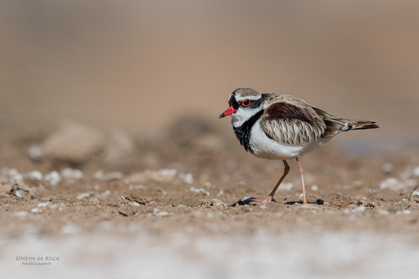 Black-fronted Dotteral, Bowra, Cunnamulla, QLD, Aus, Sept 2017-6