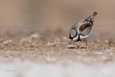 Black-fronted Dotteral, Bowra, Cunnamulla, QLD, Aus, Sept 2017-5