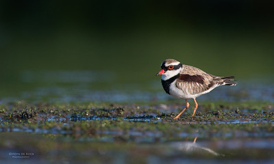 Black-fronted Dotteral, Pitt Town Lagoon, NSW, Aus, Oct 2013
