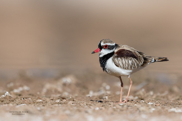Black-fronted Dotteral, Bowra, Cunnamulla, QLD, Aus, Sept 2017-4