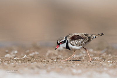 Black-fronted Dotteral, Bowra, Cunnamulla, QLD, Aus, Sept 2017-3