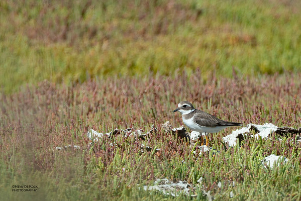 Common RInged Plover, West Coast NP, WC, SA, Jan 2014