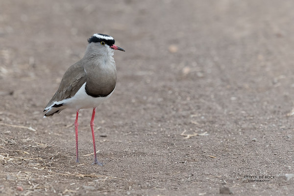 Crowned Lapwing, Mashatu GR, Botswana, May 2017-1