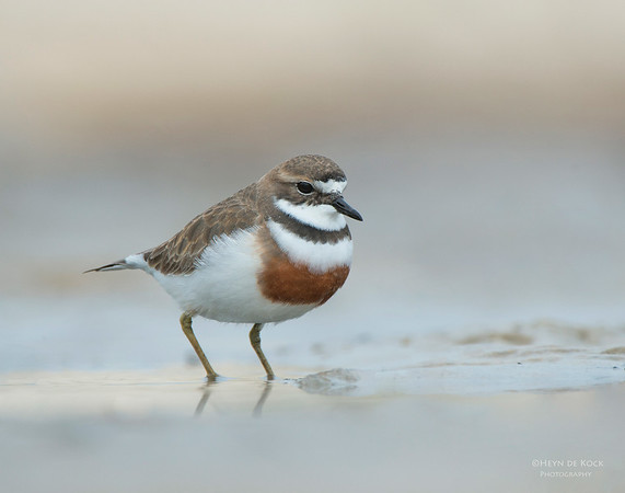 Double-banded Plover, Lake Conjola, NSW, Aug 2013-10 copy