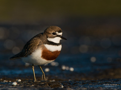 Double-banded Plover, Ulladulla, NSW, Aug 2014-3