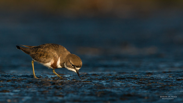 Double-banded Plover, Ulladulla, NSW, Aug 2014-7
