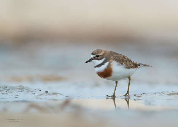 Double-banded Plover, Lake Conjola, NSW, Aug 2013-9