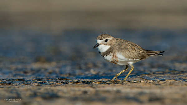 Double-banded Plover, Ulladulla, NSW, May 2014-1