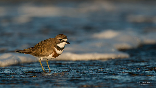Double-banded Plover, Ulladulla, NSW, Aug 2014-6