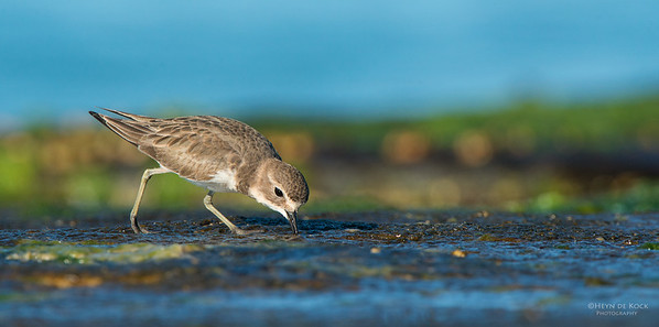 Double-banded Plover, Ulladulla, NSW, May 2014-2