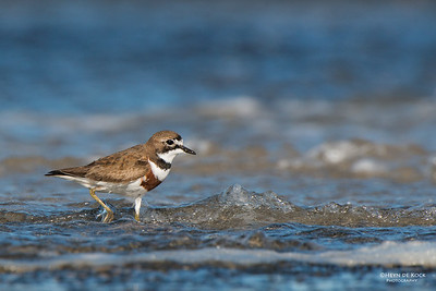 Double-banded Plover, Uladalla, NSW, Aug 2014-7