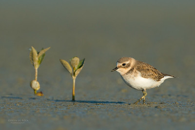 Double-banded Plover, Miranda, NI, NZ, March 2015