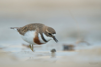 Double-banded Plover, Lake Conjola, NSW, Aug 2013-12