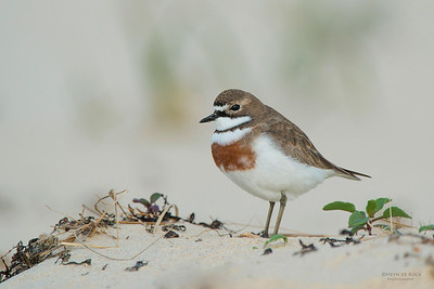 Double-banded Plover, Lake Conjola, NSW, Aug 2013-1