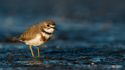 Double-banded Plover, f, Ulladulla, NSW, Aug 2014-4