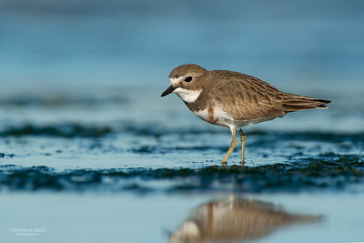 Double-banded Plover, f, Ulladulla, NSW, Aug 2014-6