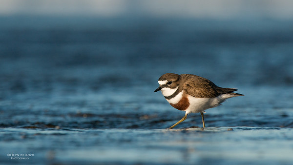 Double-banded Plover, Ulladulla, NSW, Aug 2014-2