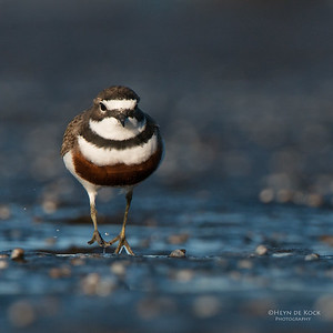 Double-banded Plover, Ulladulla, NSW, Aug 2014-12