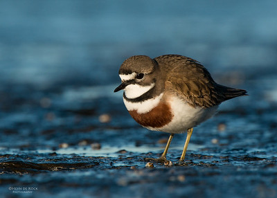 Double-banded Plover, Ulladulla, NSW, Aug 2014-15
