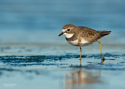 Double-banded Plover, f, Ulladulla, NSW, Aug 2014-3