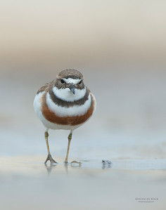Double-banded Plover, Lake Conjola, NSW, Aug 2013-11