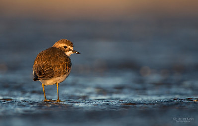 Double-banded Plover, f, Ulladulla, NSW, Aug 2014-2