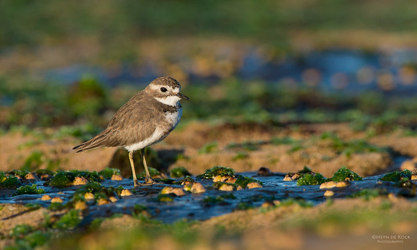 Double-banded Plover, Ulladulla, NSW, May 2014-3
