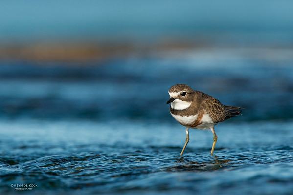 Double-banded Plover, f, Ulladulla, NSW, Aug 2014-1