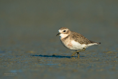 Double-banded Plover, Miranda, NI, NZ, March 2015-1