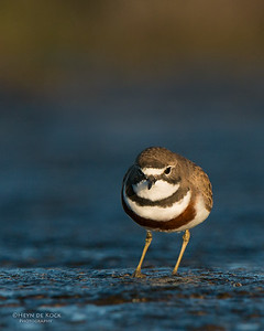 Double-banded Plover, Ulladulla, NSW, Aug 2014-11