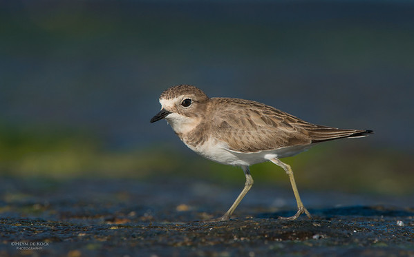 Double-banded Plover, Ulladulla, NSW, May 2014