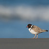 Hooded Plover, Bruny Island, TAS, Sept 2016-21