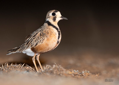 Inland Dotterel, Deniliquin, NSW, Oct 2018-1