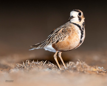 Inland Dotterel, Deniliquin, NSW, Oct 2018-2