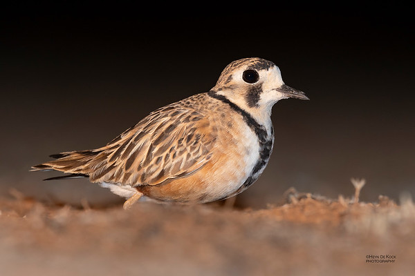 Inland Dotterel, Deniliquin, NSW, Oct 2018-3