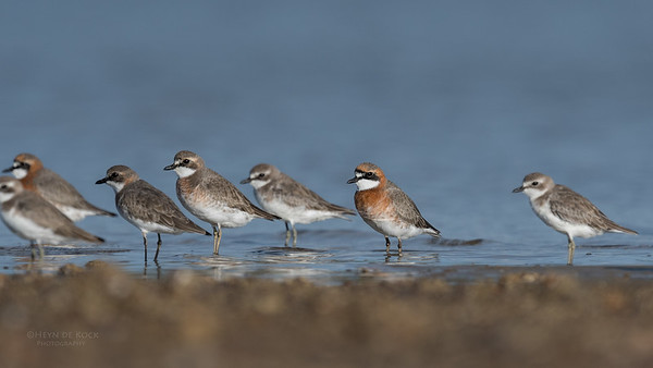 Lesser Sand Plovers, Boonooroo, QLD, March 2017-2