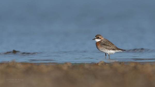 Lesser Sand Plover, Boonooroo, QLD, March 2017-1